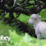 Lambs- tree
