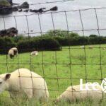 Lambs- fence